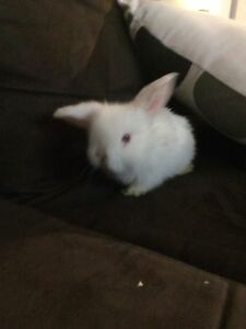 Pure Bred Baby Lop Ear Bunnies Killarney Vale Wyong Area Preview