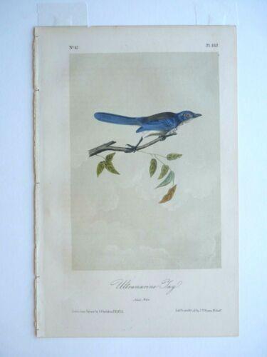 Ultramarine Jay Audubon Color Print 1850s Octavo Edition Plate #232 Antique