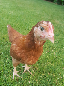 Isa Brown.Pet Pullets. All going cheep!!-can deliver. Great pets. Ryde Ryde Area Preview