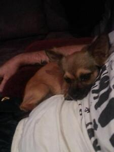 LOST DOGS x2 terrier x(male) and chihuahua longer haired (female) Raymond Terrace Port Stephens Area Preview