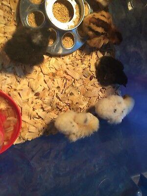 12 Fertile Chicken Hatching Eggs - Barnyard Mix