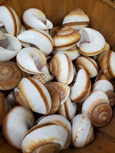 "Large Hermit Crab Shells Land Snail Shells 3"" Natural Shells (Lot of 5 Shells)"