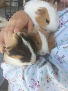 Guinea pig babies male and female Temagog Kempsey Area Preview