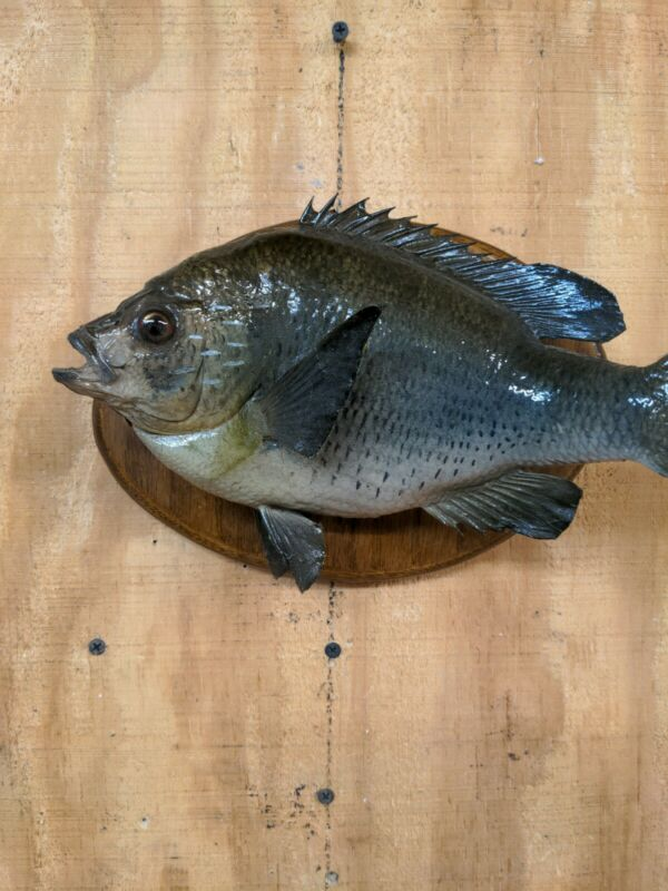 Shell cracker Fish Mount on board, Real skin,  Taxidermy. 1 pound