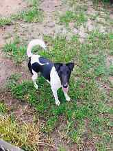 Standard fox terrier Elimbah Caboolture Area Preview