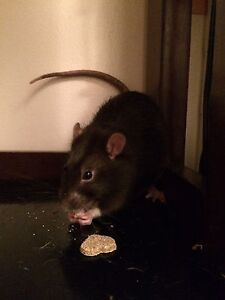Still available! 2 male rats
