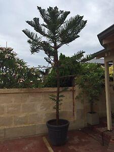 Feature Norfolk Island pine tree in pot (3 meters high) Kallaroo Joondalup Area Preview