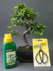 Chinese Elm Indoor Bonsai Tree - S Trunk - 25-30cm  Gift Set and  FREE P&P