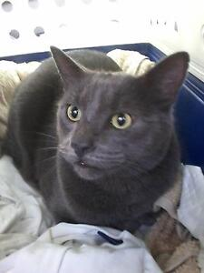 LOOKING FOR: Smokey (Grey Domestic Short Hair Cat, Green Eyes) Box Hill South Whitehorse Area Preview