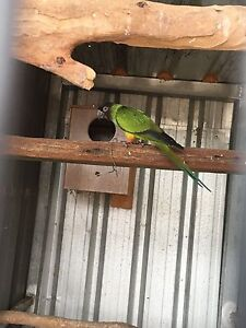Male Nanday conure Campbelltown Campbelltown Area Preview