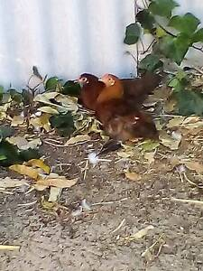 Chickens 2months old Wanneroo Wanneroo Area Preview