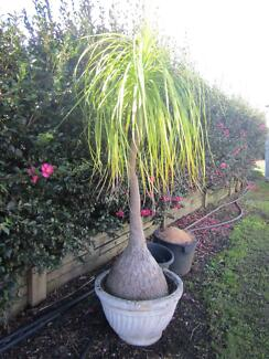 Pony Tail Palm Windsor Hawkesbury Area Preview