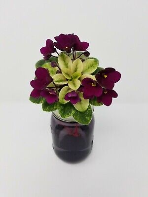 Jolly Mel Miniature African Violet Starter Plant