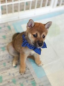 Cute female Shiba Inu puppy is ready to go home