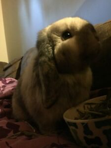 Holland lop female bunny