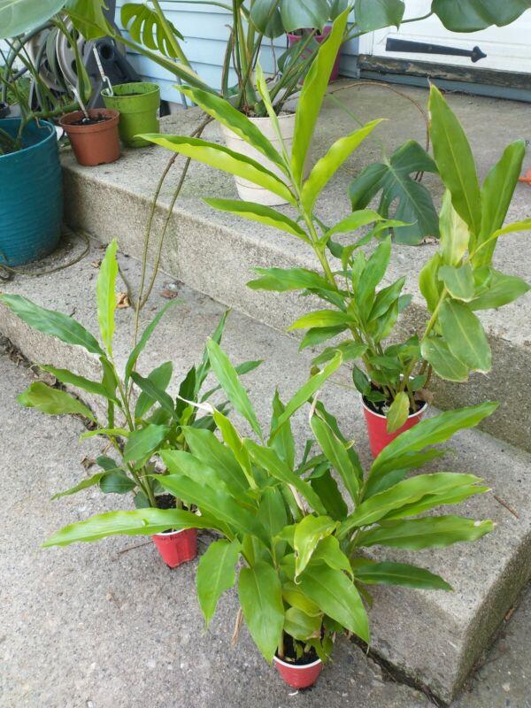 Cardamom Plants Live $25