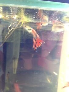 Baby guppies and snails for sale