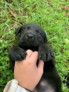 Gorgeous Purebred Labrador Puppies For Sale