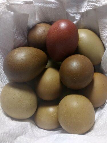 3+ assorted DARK Olive-Egger hatching eggs (10th-12th gen)