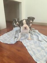 American Staffy Coburg North Moreland Area Preview