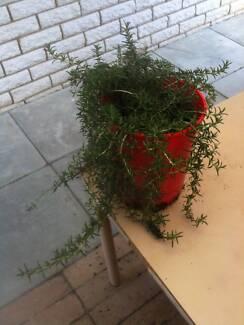 Santa Babara Rosemary Herb Armadale Armadale Area Preview
