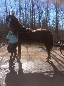 AMERICAN SADDLEBRED/BELGIAN CROSS RIDING AND DRIVING MARE