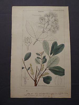 Kupferstich handcoloriert, Botanik, Combreataceae, Combretum glutinosum, um 1850