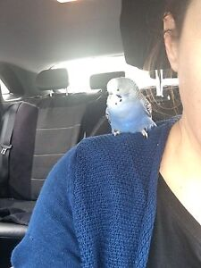 Found Blue Budgie Collingwood Yarra Area Preview