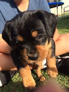 Puppies For Sale Halls Head Mandurah Area Preview