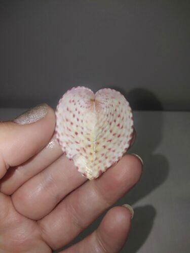 Rare Coloured corculum cardissa sea shells, true heart cockle. #4