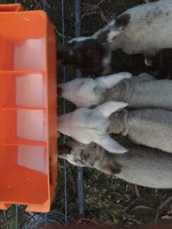 No time for orphan lambs ??  Exeter West Tamar Preview