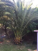 Palm Tree Ferntree Gully Knox Area Preview