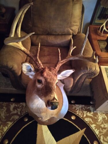 10 Point Whitetail Deer Shoulder Mount Taxidermy 2020