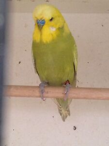 Crest bred budgies Langwarrin Frankston Area Preview