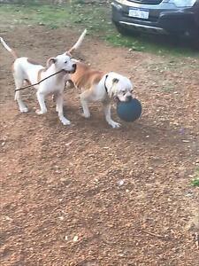 Lost American bulldog Henley Brook Swan Area Preview