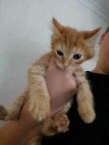 Giveaway male kitten