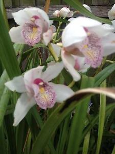 Orchids in terracotta pots Malvern Stonnington Area Preview