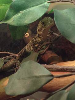 Juvenile  Gippsland Water Dragons for sale