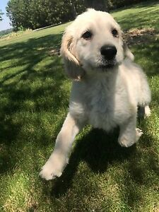 Beautiful Goldendoodle Female Puppy