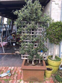 Olive tree on espalier trellis