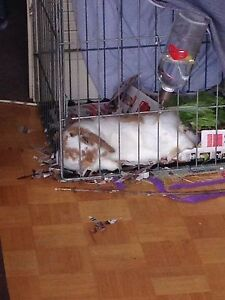 Selling 1 year old holland lop
