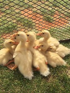 White Indian Runner x Peking Ducklings Bowral Bowral Area Preview