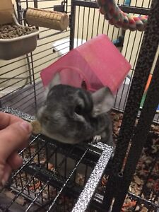 Chinchilla for re-homing