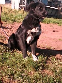 Working dog Perth 7300 Northern Midlands Preview