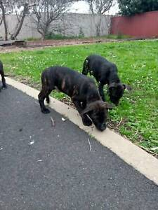 puppies for sale in Warrnambool Region, VIC | Dogs & Puppies