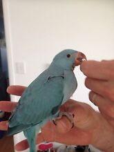 Indian Ringneck Baby Nerang Gold Coast West Preview