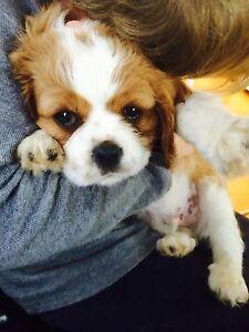 King Charles Cavalier Puppy Smithton Circular Head Preview