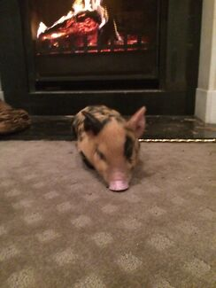 Piglet for sale  Bondi Beach Eastern Suburbs Preview
