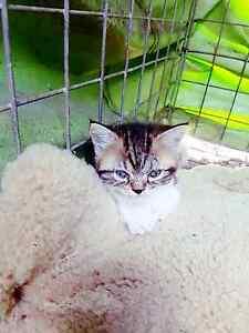 KITTENS  & CATS all seeeking homes ♡ Yandina Maroochydore Area Preview