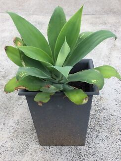 Large agave plant in decorative pot